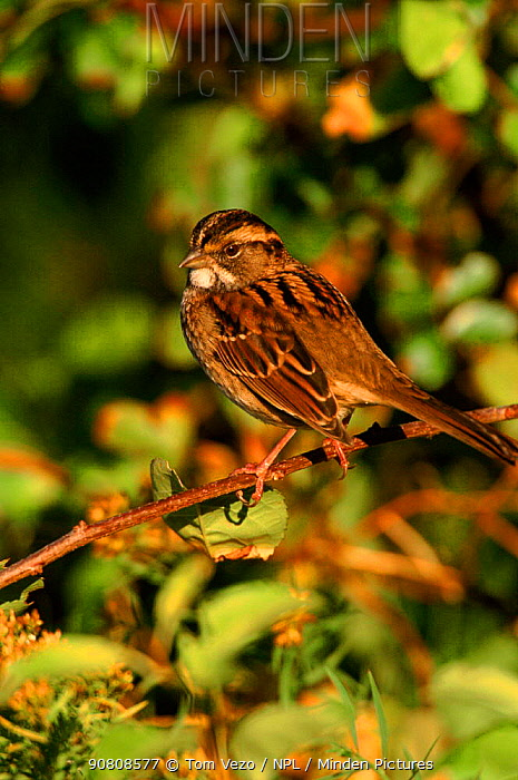 White throated sparrow perched, Long Is, USA