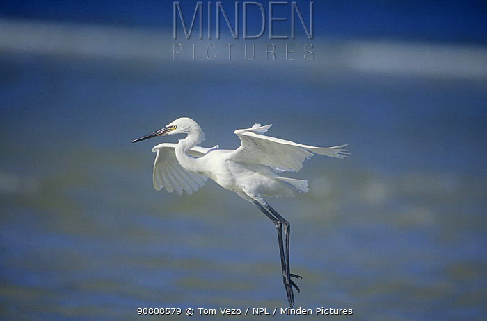 Reddish egret {Egretta rufescens} landing, white phase, Florida, USA.