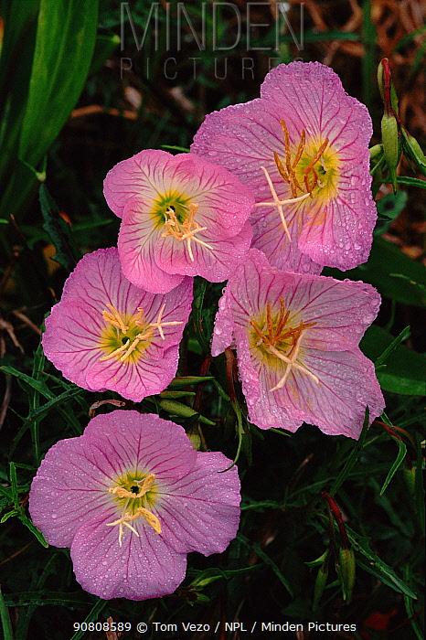 Dew on Common evening primrose {Oenothera biennis} USA Long Island New York State