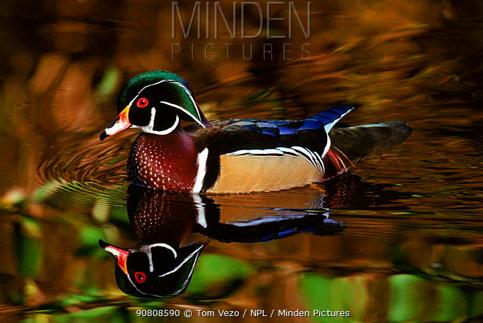 Male wood duck, Vancouver BC, Canada