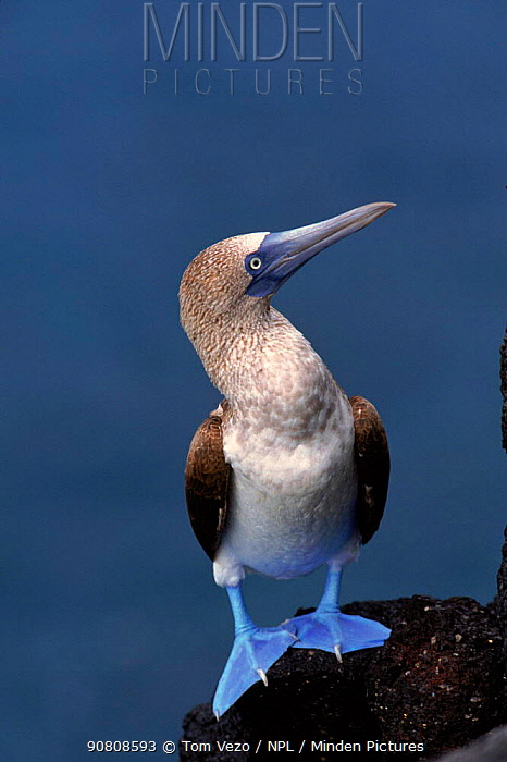 Blue footed booby on rock face, Galapagos