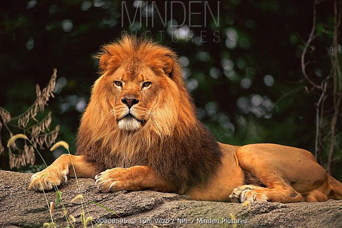 Male Lion {Panthera leo} Pittsburg zoo, USA.