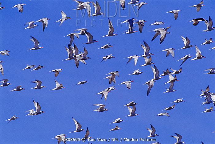 Flock of Common terns (Sterna hirundo) in flight. Quebec, Canada