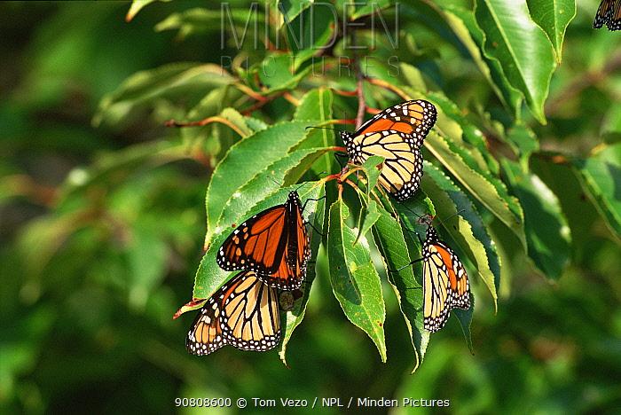 Monarch butterflies {Danaus plexippus} New York USA