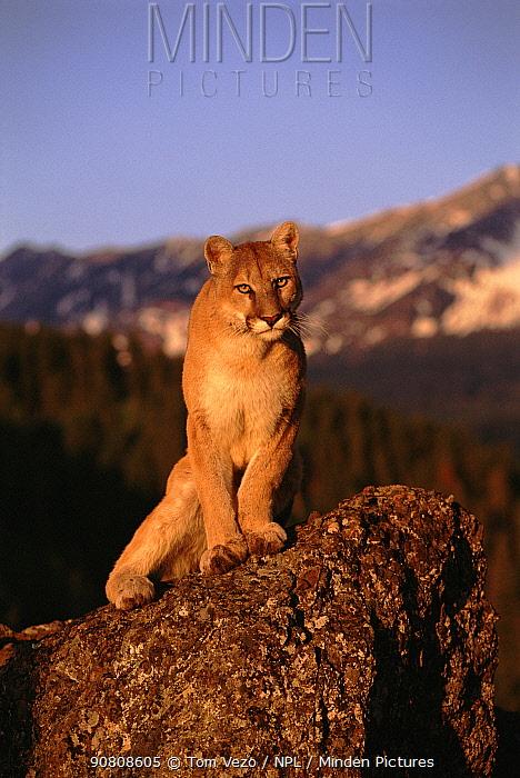 Puma (Mountain lion) (Felis concolor). Montana, USA