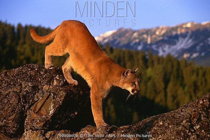 Puma (Mountain lion) on rock {Felis concolor} Montana, USA, captive