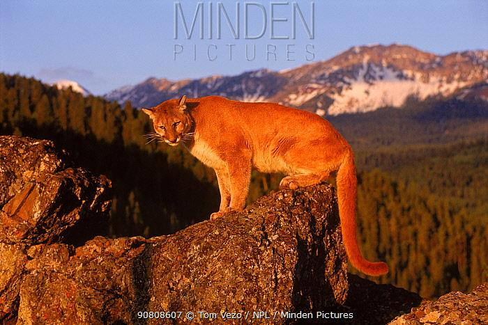 Puma / Mountain lion / Cougar on rock {Felis concolor} Montana USA