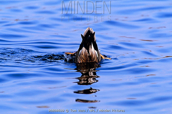 Gadwall {Anas strepera} male upending, Long Is, New York, USA