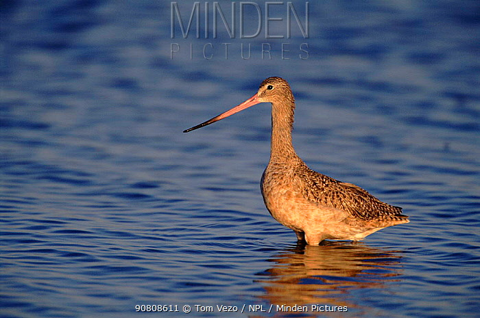 Marbled godwit wading in water, Salton Sea, California, USA.