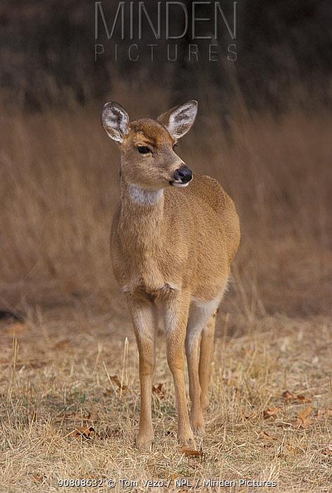 Whitetail deer doe {Odocoileus virginianus} Long Is, NY, USA