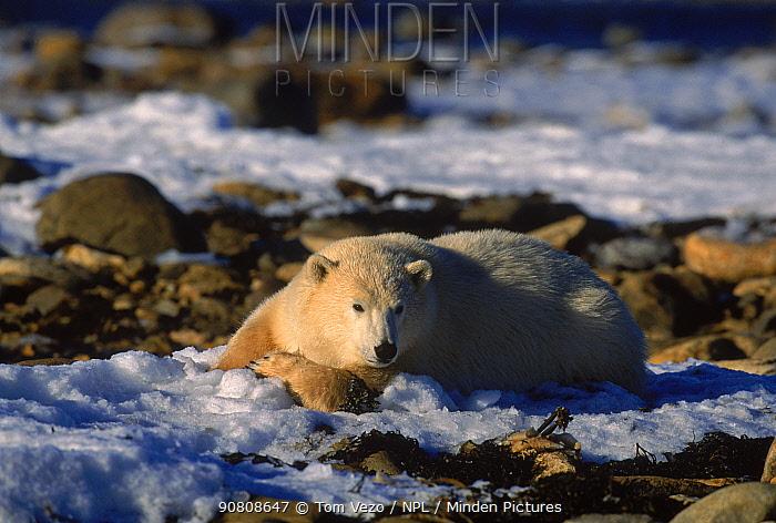 Polar bear {Ursus maritimus} lying down, tundra, Churchill, Manitoba, Canada