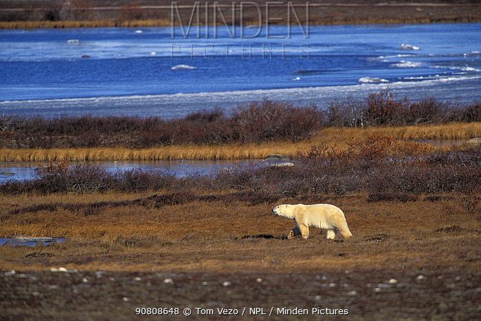 Polar bear {Ursus maritimus} roaming the tundra, Churchill, Manitoba, Canada