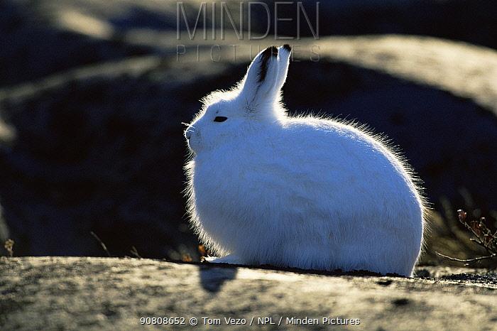 Side profile of Arctic hare {Lepus arcticus} Churchill, Manitoba, Canada