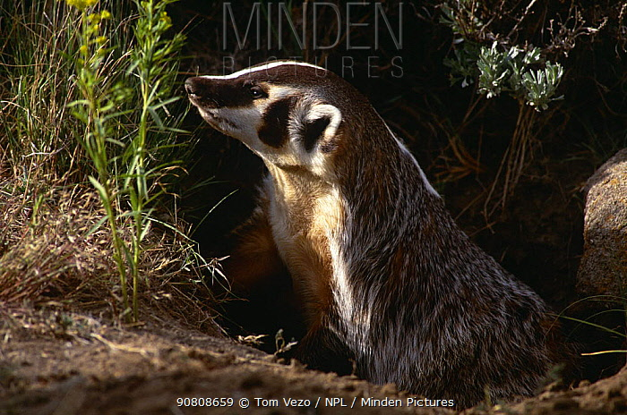 American badger {Taxidea taxus} at entrance to burrow, Montana, USA, captive