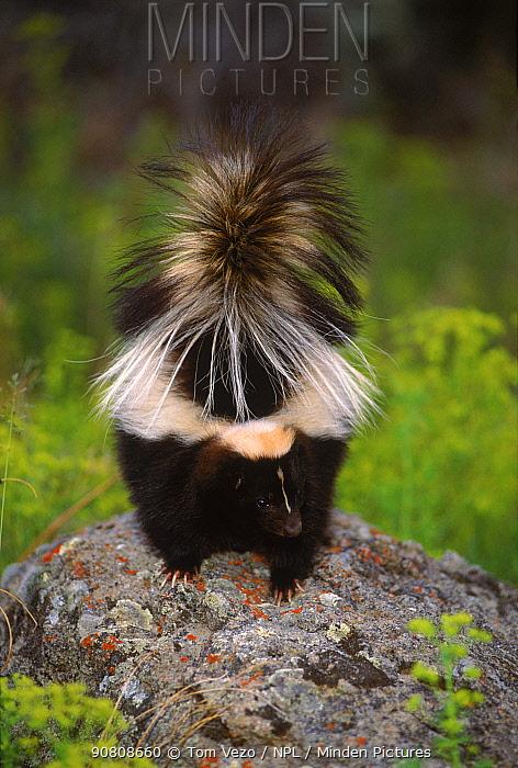 Striped skunk {Mephitis mephitis} on top of rock, Montana, USA C