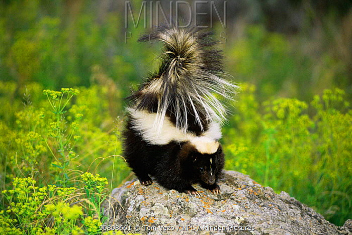 Striped skunk {Mephitis mephitis} on top of rock with tail raised in defence, Montana, USA captive