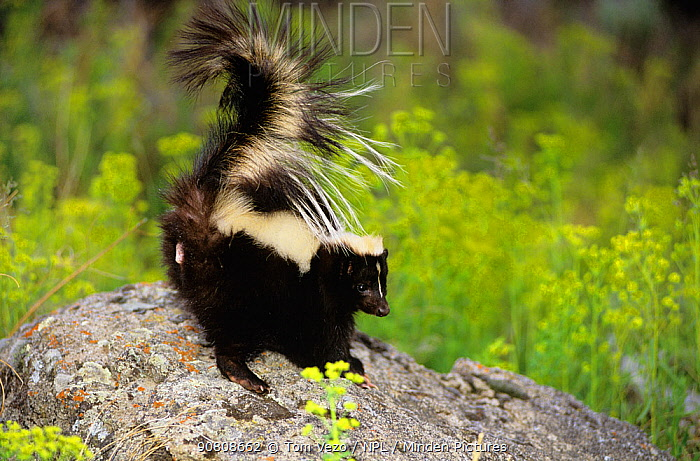 Striped skunk {Mephitis mephitis} with tail raised showing anal gland, captive, USA