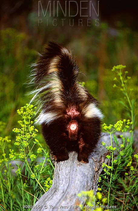 Back view of Striped skunk {Mephitis mephitis} on top of rock, Montana, USA, captive