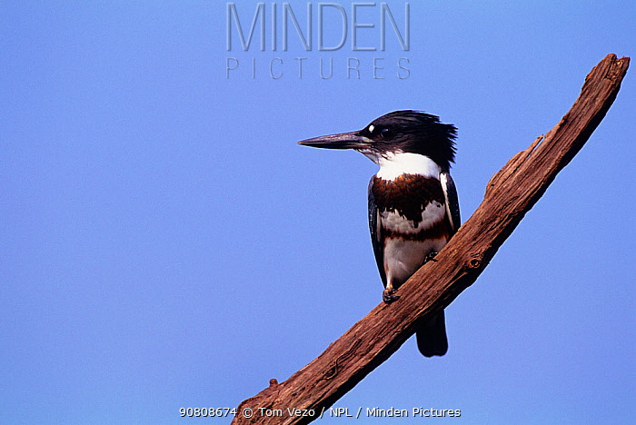 Male Belted kingfisher {Megaceryle alcyon} perched on branch, Long Island, New York, USA