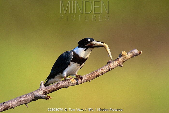 Male Belted kingfisher {Megaceryle alcyon} perched with fish in beak, Long Island, New York, USA