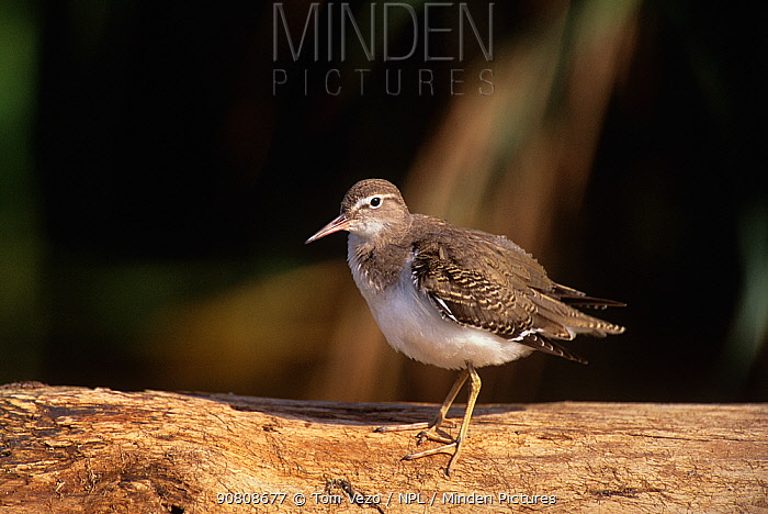 Solitary sandpiper {Tringa solitaria} perched on log, Long Island, New York, USA