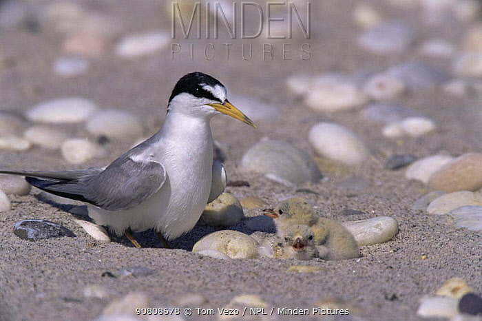 Least tern {Sternula antillarum} and newly hatched chicks at nest, camouflaged against beach pebbles, Long Island, New York, USA