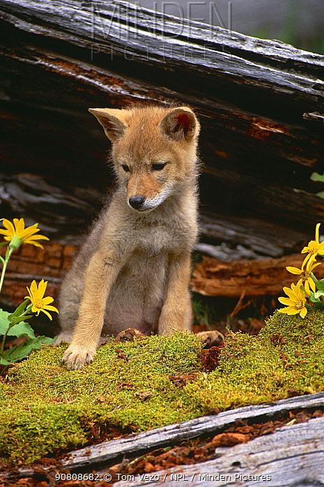Coyote pup portrait {Canis latrans} sitting against tree bark, captive, Montana, USA