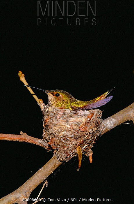 Female Anna Hummingbird {Calypte anna} sitting on nest, California, USA