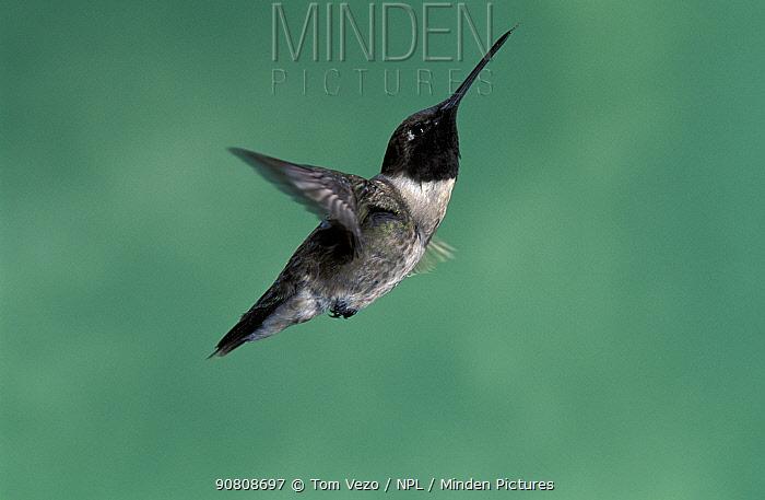 Male Black chinned hummingbird {Archilochus alexandri} hovering, Arizona, USA