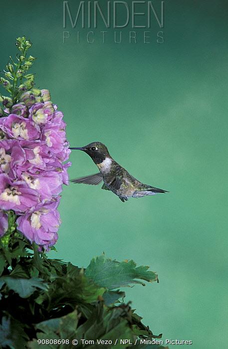 Male Black chinned hummingbird {Archilochus alexandri} at flowers, Arizona, USA