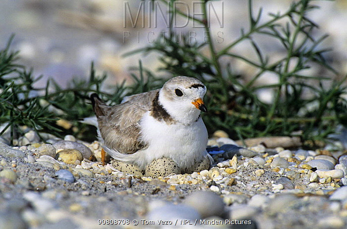 Piping plover (Charadrius melodus) incubating eggs on nest Long Island, NY, USA