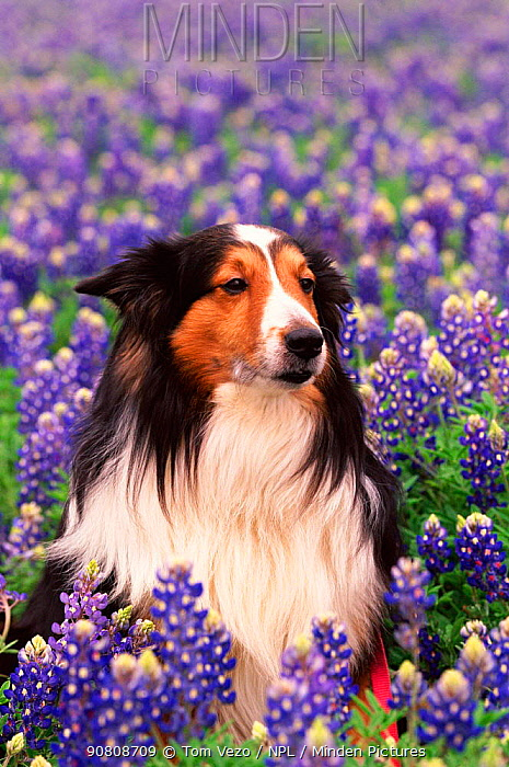 Collie dog amongst lupins {Canis familiaris}