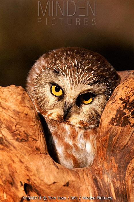 Northern saw-whet owl {Aegolius acadicus} at Raptor centre, USA