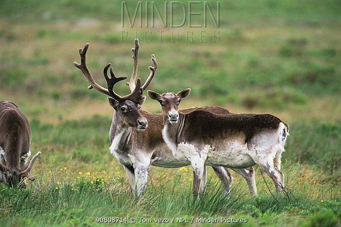 Male and female Reindeer pair {Rangifer tarandus} Newfoundland, Canada