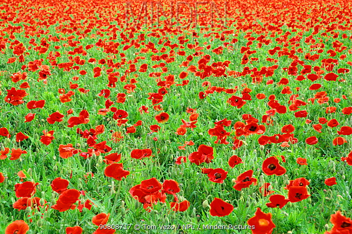 Fieldfull of Common poppies {Papaver rhoeas} Texas, USA.