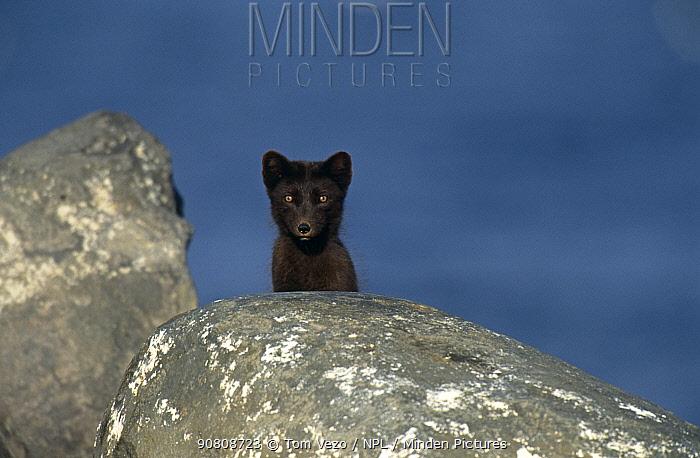 Arctic fox summer coat {Vulpes lagopus} St Paul Island, Pribilofs, Alaska, USA