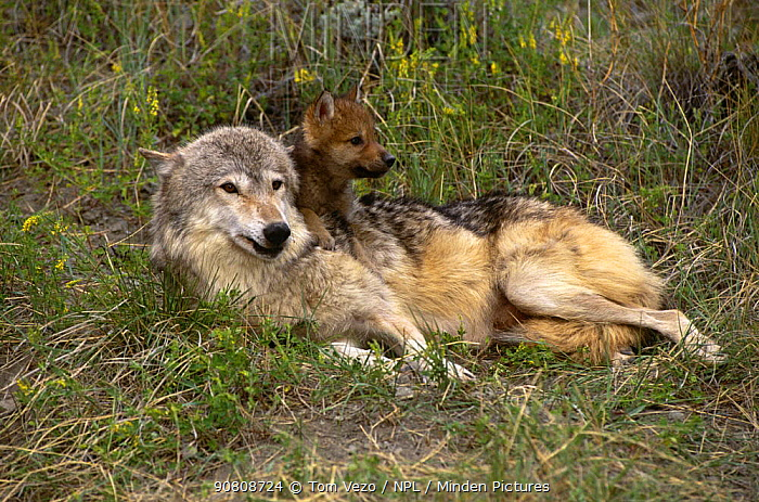 Grey wolf {Canis lupus} with pups, captive, Montana, USA.