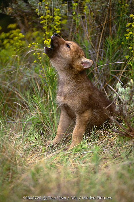 Grey wolf pup howling {Canis lupus} captive, Montana, USA