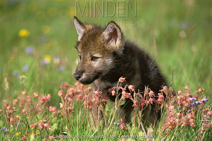 Grey wolf pup amongst flowers (Canis lupus), Montana, USA, captive