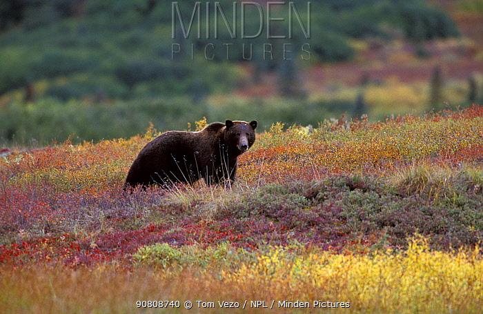 Grizzly bear {Ursus arctos horribilis}, Denali NP, Alaska, USA