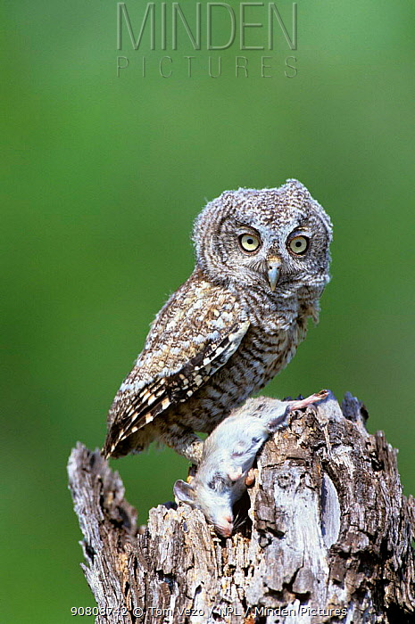 Eastern screech owl portrait {Megascops asio}, rio Grande Valley, Texas, USA