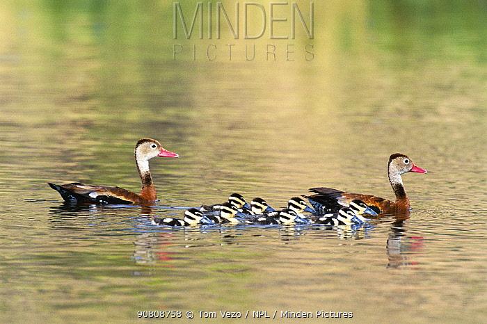 Black bellied whistling duck pair with chicks {Dendrocygna autumnalis} Arizona, USA