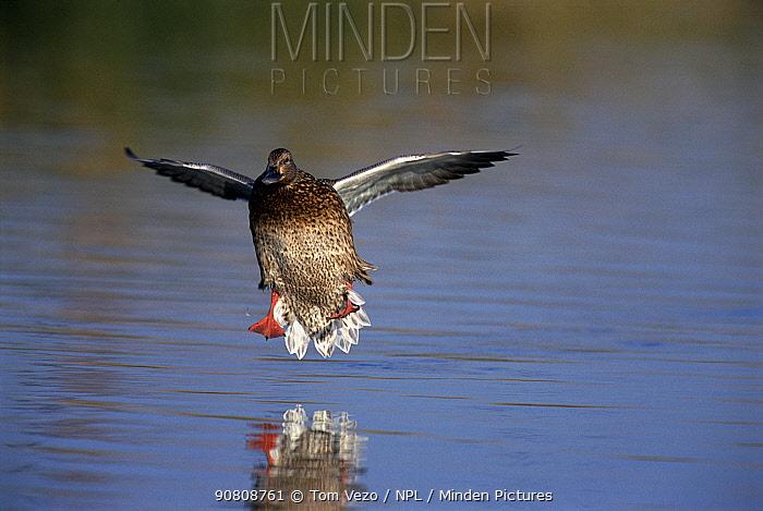 Northern shoveler duck {Anas clypeata} female landing on water Arizona, USA