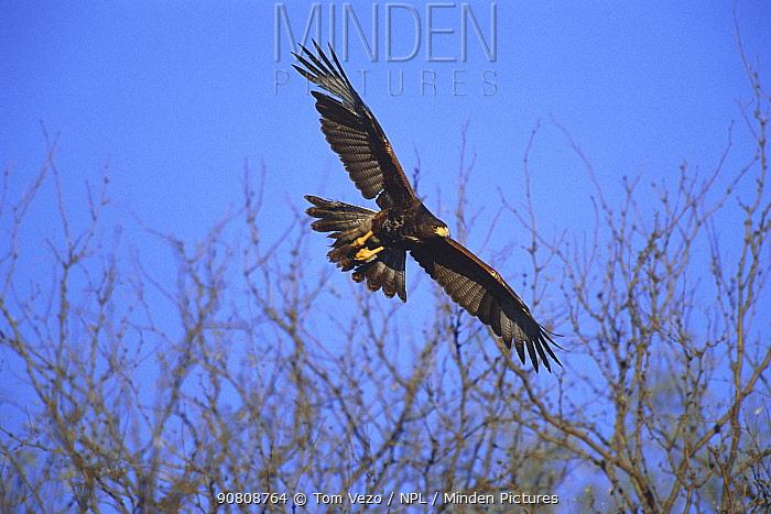Harris hawk flying {Parabuteo unicinctus} Tucson, Arizona, USA