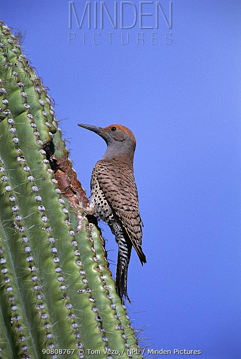 Gilded flicker female at nest in Saguaro cactus. Arizona, USA {Colaptes chrysoides} North America