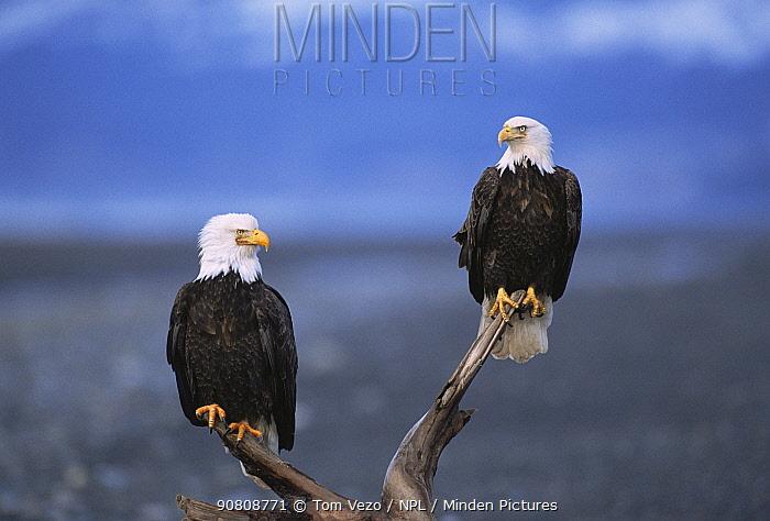 American bald eagles {Haliaeetus leucocephalus} perching on branches. Kenai peninsula, Alaska, USA