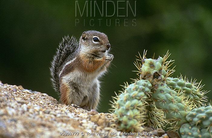 Harris' antelope squirrel {Ammospermophilus harrisii} Tucson, Arizona, USA
