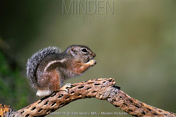 Harris antelope squirrel {Ammospermophilus harrisii} Arizona, USA, North America