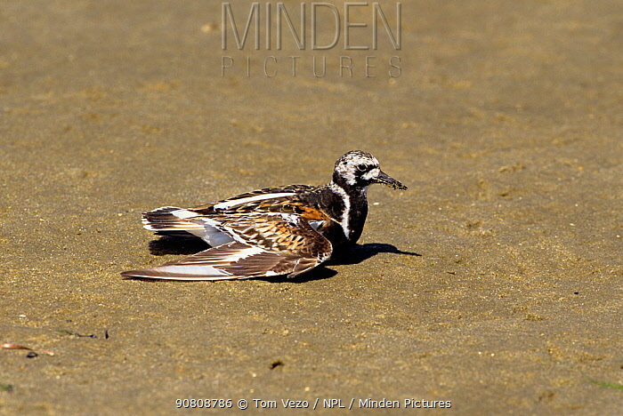 Turnstone {Arenaria interpres} on sand basking,  Long Island, New York, USA