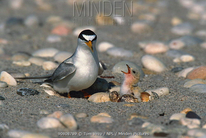 Least tern at nest with newly hatched chicks {Sternula antillarum} Long Island, New York, USA